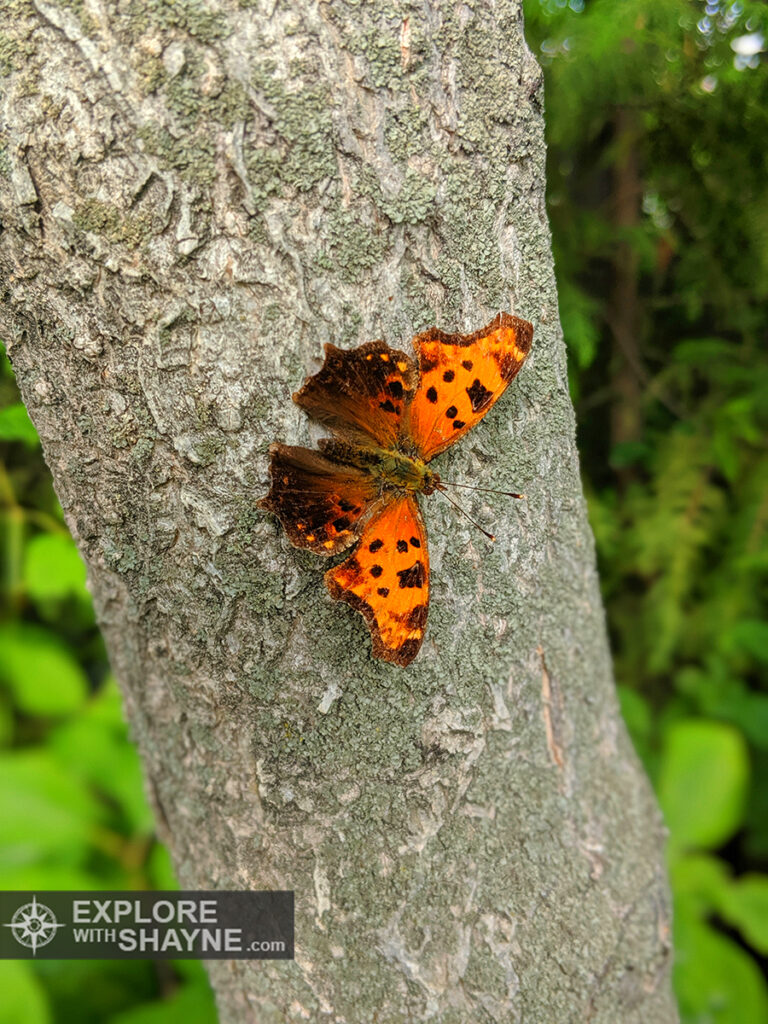 Butterfly (Comma)
